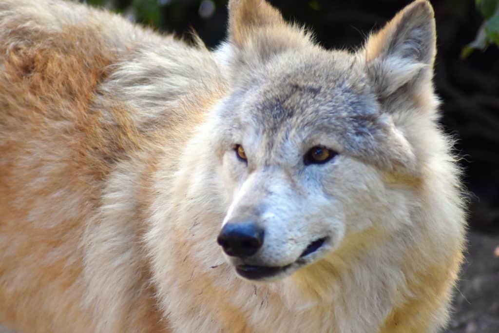 זאב הימלאיה - שלומי הפקות