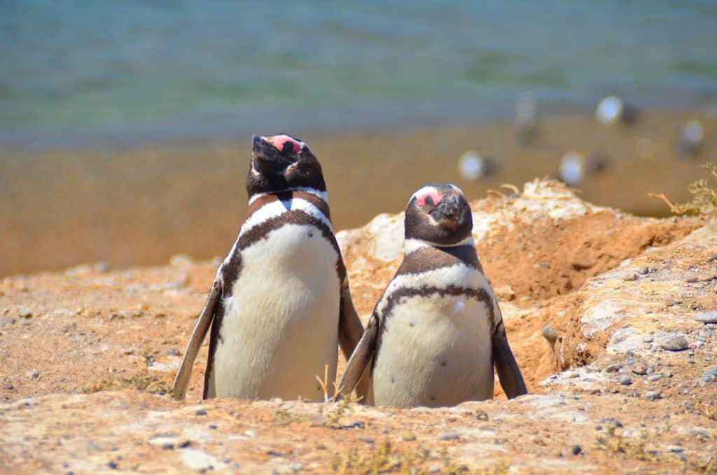 צילום פינגווינים