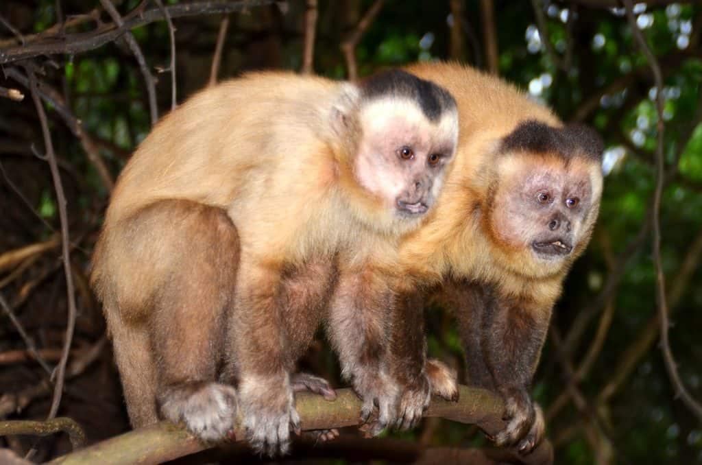 זוג קופים - שלומי הפקות