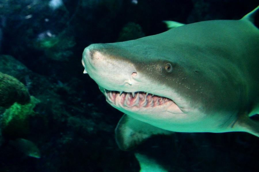 כריש - שלומי הפקות