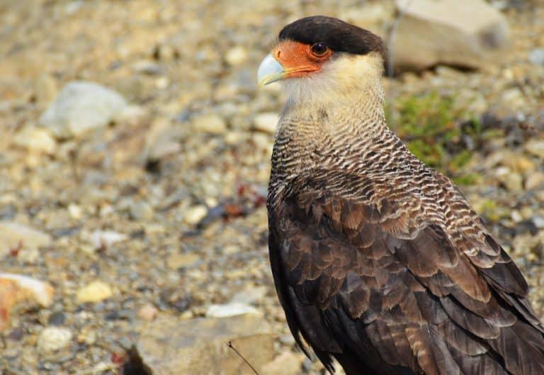 עוף דורס- שלומי הפקות